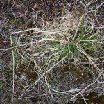 Danthonia spicata late April