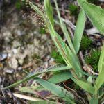 Dichanthelium acuminatum leaves