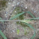 Echinochloa crus-galli tiller