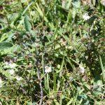 Euphrasia nemorosa reddish plant