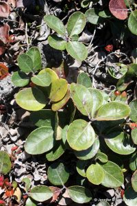 Gaultheria procumbens leaves can be rounded or pointed