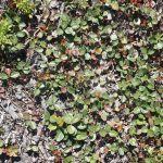 Gaultheria procumbens groundcover that smells like wintergreen