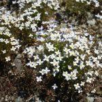 Houstonia caerulea clumping growth habit