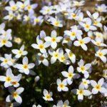 Houstonia caerulea flowers