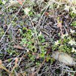 Houstonia caerulea early emergence