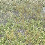 Ilex mucronata male plant
