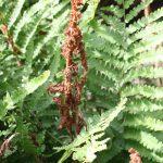 Osmunda cinnamomea fertile and sterile fronds separate