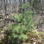 Pinus strobus young tree