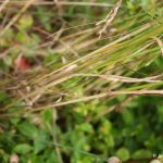 Poa pratensis stem and leaves