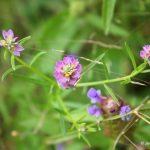 Polygala sanguinea flowers