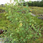 Populus grandidentata young tree