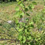 Populus tremuloides sapling