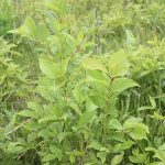 Prunus virginiana in blueberry field