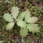Quercus rubra young leaves, end of May