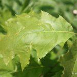 Quercus rubra leaf detail