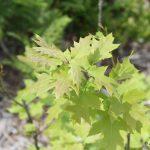 Quercus rubra young tree
