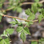 Rubus idaeus second year canes