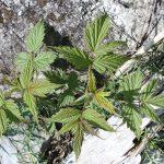 Rubus idaeus first year leaves, whitish beneath