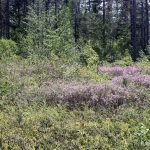 Rhododendron canadense in blueberry field