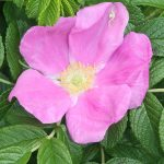 Rosa rugosa in flower, early June
