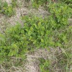Rosa virginiana regrowth in mowed blueberry field
