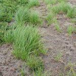 Scirpus atrocinctus late July