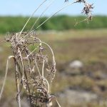 Scirpus pedicellatus last year's inflorescence