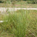 Scirpus pedicellatus inflorescence