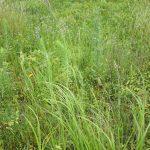 Spartina pectinata flowering stem