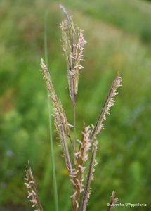 Spartina pectinata in flower