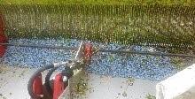 wild blueberry picking head