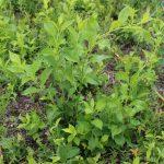 oriental bittersweet in wild blueberry field