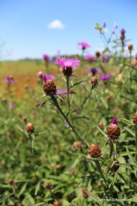 knapweed flowers and bracts