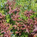 red northern bush honeysuckle