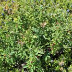 Ilex mucronata female plant