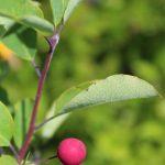 Ilex mucronata fruit