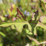 Lactuca biennis leaves