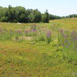 purple loosestrife, large plants
