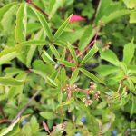 Virginia creeper vine and flowers