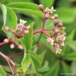 Virginia creeper flowers