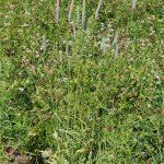 Mature timothy plant