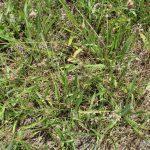 Plantago lanceolata in hay field