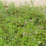 purple bloodwort in wild blueberry field