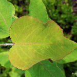 trembling aspen leaf glands