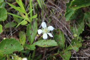 Rubus hispidus flower