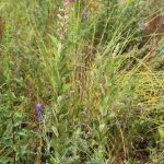 steeplebush in flower
