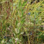 steeplebush pre-flower