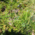 Vicia sativa in wild blueberry field
