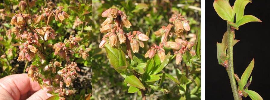 Frost damage on blueberry flowers and buds