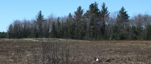 Blueberry land with tree line